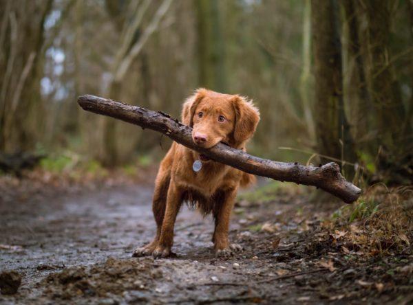 犬が枝を拾う